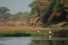 Ibis selvaggio Fotografie Stock Libere da Diritti