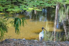 Ibis sits beside pond with water lilies and bamboo shoots and the reflection of a bamboo forest in the shallow water stock image