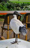 Ibis sitting on table stock image