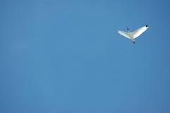 ibis soaring Royaltyfri Fotografi
