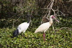 Ibis and spoonbill Royalty Free Stock Image