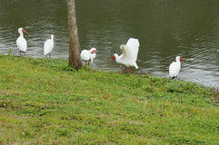IBIS spread its wings Stock Photo