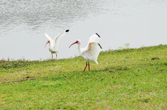 IBIS spread its wings Royalty Free Stock Images