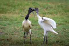 Ibis standing lakeside. Royalty Free Stock Photography