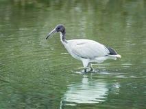 Ibis standing lakeside. Stock Image