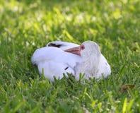 IBIS sur l'herbe Photo libre de droits