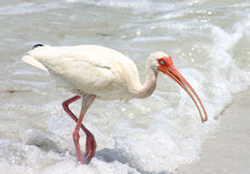 Ibis in the Surf Stock Images
