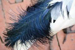 Ibis tail feathers. Close up on tail feathers of an ibis Royalty Free Stock Image