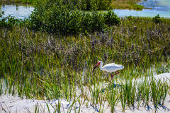 An Ibis in a tide pool near the beach. This white Ibis is looking for food Stock Image