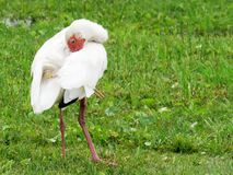 Ibis tucking its beak under its wing. Ibis standing in grass. Its head is twisted in a way that allowed most of its beak to be hidden behind one of its wings stock images