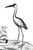 Ibis Stock Image