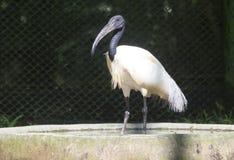 IBIS-Vogel Lizenzfreie Stockfotografie