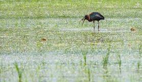 IBIS-Vogel, der kleine Fische jagt Lizenzfreie Stockfotografie
