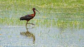 IBIS-Vogel, der nach Lebensmittel auf dem Reisgebiet sucht Stockfoto