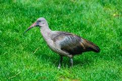 IBIS-Vogel in einem Zoo in Valencia, Spanien Stockfotografie
