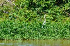 IBIS-Vogel im Amazonas-Regenwald, Brasilien Lizenzfreies Stockfoto