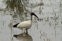 IBIS-Vogel oder -Sichler Lizenzfreies Stockbild