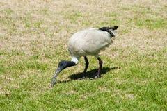 IBIS-Vogel - Sydney - Australien Stockbilder
