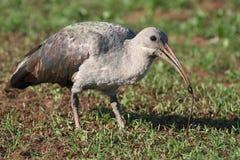 IBIS-Vogel und Endlosschraube Lizenzfreie Stockbilder