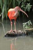 Ibis w Blijdorp zoo Obraz Stock