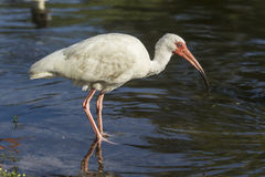 Ibis wades in water. Stock Image