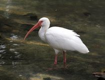 An Ibis wading in a lake stock image