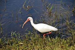 Ibis walks in marsh Stock Images