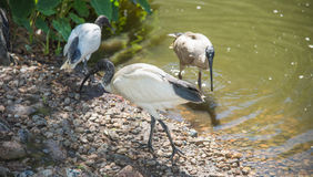 Ibis by the Water& x27;s Edge Stock Image
