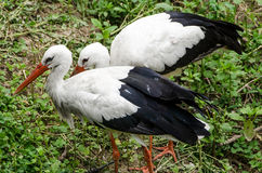ibis white Royaltyfria Bilder