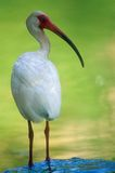 ibis white Arkivfoto