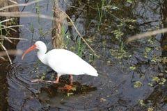 ibis white Royaltyfri Foto