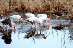 ibis white Arkivbild