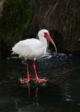 ibis white Royaltyfri Fotografi