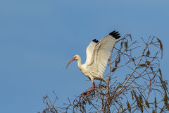 ibis white Arkivbilder