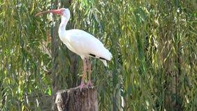 ibis white Ibits står i solljuset lager videofilmer