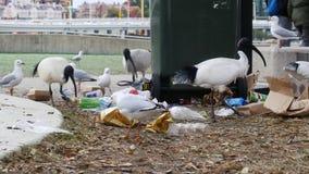 Ibis y gaviotas que comen la litera de la basura en la tierra