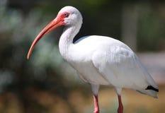 ibisa biel fotografia stock