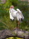 ibisa biel Zdjęcia Royalty Free