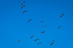 ibisa latin imienia threskiomis spinicollis słomy threskiomis Zdjęcia Royalty Free