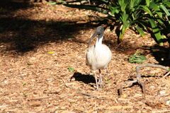 Ibisa ptak Obrazy Royalty Free