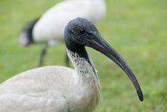 Ibisa ptak na zielonej łące w Sydney obrazy stock