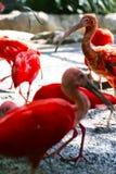 ibisa szkarłat Zdjęcie Royalty Free