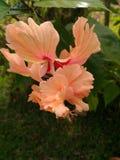 Ibisco& x27 λουλούδι του s Στοκ φωτογραφίες με δικαίωμα ελεύθερης χρήσης