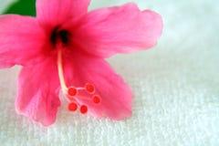Ibisco 3 Fotografia Stock