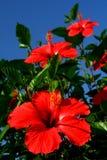 ibisco Fotografia Stock Libera da Diritti