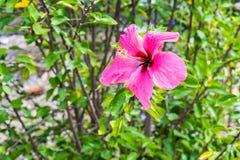 Ibisco abbastanza rosa Immagine Stock Libera da Diritti