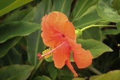 Ibisco arancio Fotografia Stock Libera da Diritti