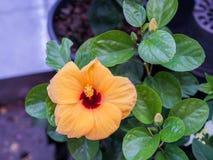 Ibisco arancio Fotografie Stock Libere da Diritti