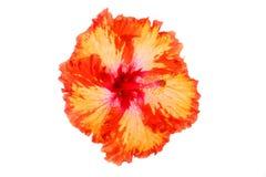 Ibisco arancio e rosso Immagini Stock