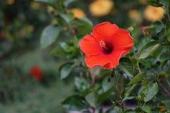 Ibisco arancio rosso fotografie stock libere da diritti